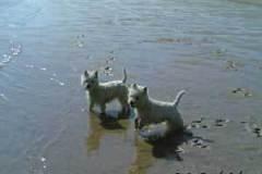 Nuestros Westies disfrutando en la playa